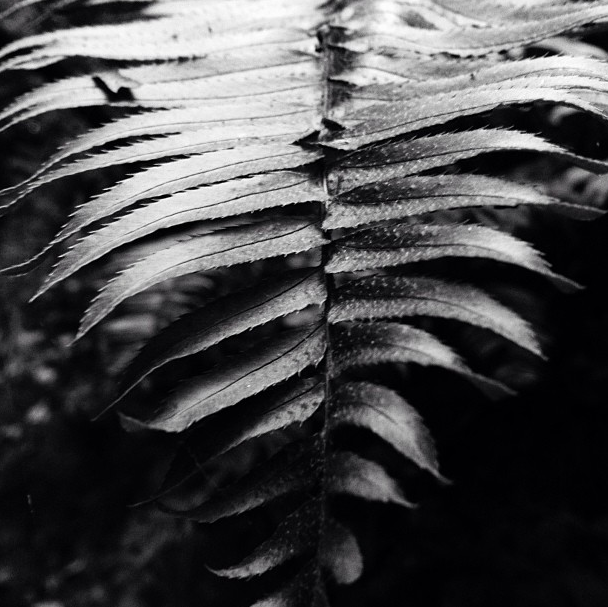 Fern at Muir Woods